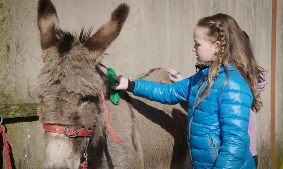 A girl wearing a blue coat is brushing a donkey